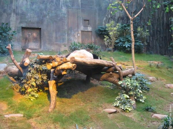 Короли зоопарка это конечно же пара панд, собирающих толпы восторженных зрителей. Все с умилением смотрят как они спят на помосте...