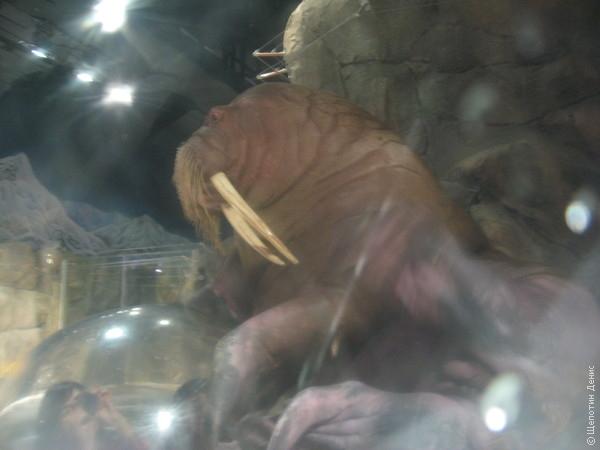 Прозрачные колпаки позволяют близко поглядеть на моржей